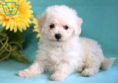 This is the cutest Bichon Frise puppy around! She is a very social and fun-loving puppy who will be very attentive towards her family. This puppy is very Shitzu Puppies, Baby Puppies, Baby Dogs, Puppy Goldendoodle, Dalmatian Puppies, Puppies Tips, Bichon Frise, Cute Funny Animals, Cute Dogs