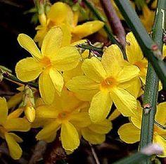 1 Planta Trepadora. Jazmín amarillo de invierno. Jasminum nudiflorum. | eBay