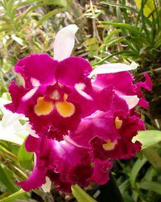BLC Chinese Beauty Orchid Queen AM AOS | Blc. Chinese Beauty 'Orchid Queen' AM/AOS