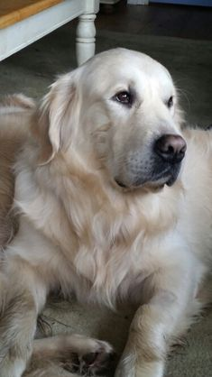 "Find out more details on ""golden retrievers"". Visit our web site. Find out more details on ""golden retrievers"". Visit our web site. Golden Retriever Training, Dogs Golden Retriever, Retriever Puppy, White Golden Retrievers, Beautiful Dogs, Animals Beautiful, Funny Dogs, Cute Dogs, Funny Dog Pictures"