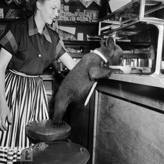 A baby bear drinks a bowl of honey in a cafe. (1950)