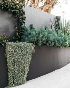 "Exotic Nurseries on Instagram: ""Dichondra Silver Falls wishing the driveway was that little lower while Senecio, Nolina & Bougainvilea thrive in this beautifully toned…"" Silver Falls Plant, Silver Falls Dichondra, Screen Plants, Coastal Gardens, Backyard Garden Design, Backyard Ideas, Fall Plants, Garden Beds, Sloped Garden"