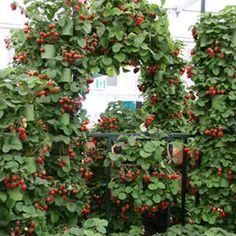aardbeien de hoogte in