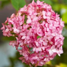 With striking clusters of pink blooms, this flower would make a breathtaking hydrangea bouquet! More outdoor room garden: http://www.bhg.com/gardening/design/styles/easy-outdoor-room-garden/?socsrc=bhgpin072013endlesssummer=2