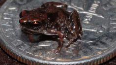 World's smallest frog