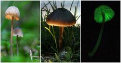 Various bioluminescent Mycenae species of mushrooms