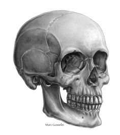 Skull anatomical drawings by artist Marc Gosselin Skeleton Drawings, Human Skeleton, Skeleton Art, Human Skull, Skull Drawings, Skull Tattoos, Body Art Tattoos, Skull Side View, Skull Reference