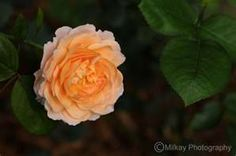 Tamora  Peach Rose