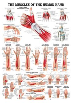 Muscles of the Hand Laminated Anatomy Chart psoas release