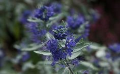 Caryopteris Sterling Silver ('Lissilv')