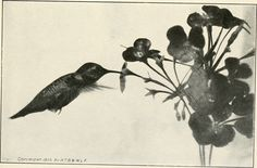 """Image from page 38 of """"American birds, studied and photographed from life"""" (1907) 