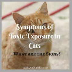 Do you know the symptoms of toxic exposure in cats? Learn to recognize some of the warning signs that your pet may have been exposed. Animal Nutrition, Health And Nutrition, Health Tips, Cat Care Tips, Dog Care, Cat Info, Kitten Care, Go Outdoors, Outdoor Cats