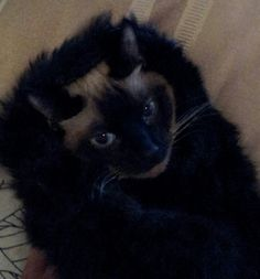 Fancy cat in a chinchilla! Dayum!!! Lol