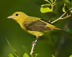 Scarlet Tanager | National Audubon Society Birds