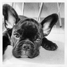 Dexter, the French Bulldog Puppy❤️❤️