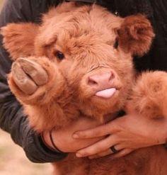 Cute Baby Cow, Baby Animals Super Cute, Baby Cows, Cute Cows, Cute Little Animals, Cute Funny Animals, Baby Baby, Fluffy Cows, Fluffy Animals