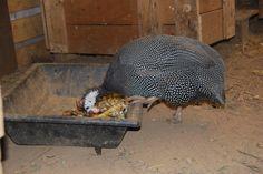 a galinha fraca a comer