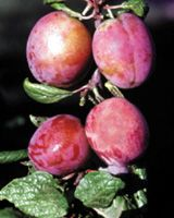 rosy gage plum tm mariana more plum tm gage plum growing spices rosy ...