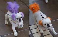Potty puppy owners in Los Angeles are taking part in a bizarre new trend: colouring their pooch's tail and ears. Dog Hair Dye, Dog Dye, Colorful Animals, Cute Animals, Dog Pictures, Animal Pictures, Dog Grooming Styles, Grooming Salon, Mobile Pet Grooming