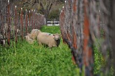 More helpful members of a biodynamic wine farming team