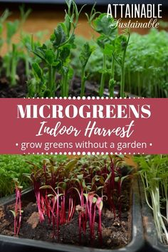 Discover the best microgreens to grow as well as how to grow microgreens indoors with this handy guide to growing wintertime salads. Growing microgreens is a perfect gardening endeavor for apartment gardeners who dont have enough space to grow a full-sized garden. Growing microgreens doesnt take much space at all. via @Attainable Sustainable