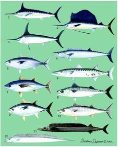 1. Blue marlin (Makaira nigricans); 2. Sailfish (Istiophorus platypterus); 3. Swordfish (Xiphias gladius); 4. Wahoo (Acanthocybium solandri); 5. Skipjack tuna (Katsuwonus pelamis); 6. Great barracuda (Sphyraena barracuda); 7. Albacore (Thunnus alalunga); 8. Atlantic mackerel (Scomber scombrus); 9. Atlantic bluefin tuna (Thunnus thynnus); 10. King mackerel (Scomberomorus cavalla); 11. Snake mackerel (Gempylus serpens); 12. Largehead hairtail (Trichiurus lepturus). (Illustration by Barbara ...