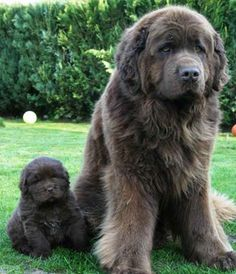 Newfoundland dog and puppy