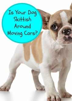 Is Your Dog Skittish Around Moving Cars?: Does your dog freak out around moving cars? Check out our tips for keeping your pooch calm and easing his anxiety when you're out for a walk on the road. Move Car, Dog Potty, Cat Behavior, Training Your Dog, Potty Training, Training Tips, Old Dogs, Puppies, Anxiety