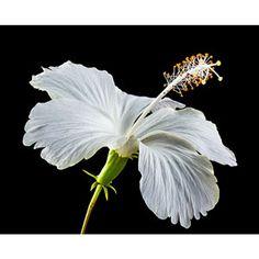 Photo de  Trio d'hibiscus de Chine