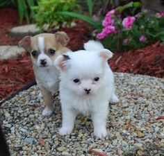 pictures of chiuaua puppies - Google Search