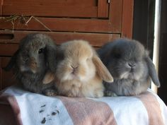 Tiny little lop bunnies! Cute Baby Bunnies, Cute Baby Animals, Animals And Pets, Funny Animals, Bunny Bunny, Bunny Rabbits, Holland Lop Bunnies, Amor Animal, Fluffy Bunny