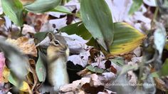 Eastern Chipmunk (Tamias striatus) collect and store large quantities of seeds in his burrow. The animal have expandable pouches in their cheek. Each pouch can hold up to 33 kernels of dried corn. Chipmunks, Pouches, Mammals, Seeds, Animal, Store, Storage, Animaux