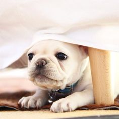 Peekaboo. Who doesn't love a sweet white puppy? #puppy #dog #photo