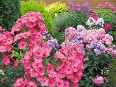 Phlox na zahradě nebo šest prich . Potted Plants, Garden Plants, Front Yard Plants, Outside Living, Flocking, Dahlia, Outdoor Gardens, Beautiful Flowers, Garden Design