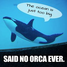 In the wild, orcas live in large groups & swim up to 100 miles/day. At Sea World they live in the equivalent of a bathtub. #myveganjournal