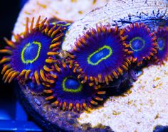 My Reef to Yours - Live Coral Frags Coral Frags, Live Coral, Rainbow, Rain Bow, Rainbows
