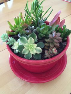 Succulents in a Fiesta planter in scarlet! Succulent Terrarium, Succulent Plants, Succulent Gardening, Planting Succulents, Growing Blueberries, Cactus, Garden Stand, Succulents In Containers, Plant Stands