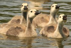 Little Canada Geese
