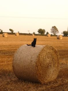 National Black Cat Appreciation Day: Black Kitties Make 'Purrfect' Pets but Need 'Furever' Homes ASAP Crazy Cat Lady, Crazy Cats, I Love Cats, Cute Cats, Funny Cats, Black Cat Appreciation Day, Fields Of Gold, Cat Boarding, Cat Sitting