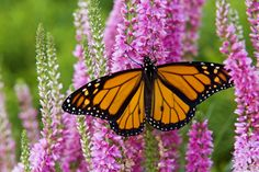 Known for their great spring migration, the Monarch butterfly is the most popular of its kind. Traveling from Mexico to California each spring, the monarch endures many transitions during its life. Their delicate, unique, and patterned wings offer a list of ideas for us.
