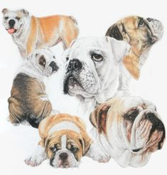 Bulldog Drawing by Barbara Keith