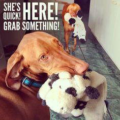 This is so sofi!!! Run, run, run! #dogs #pets #Vizslas Facebook.com/sodoggonefunny
