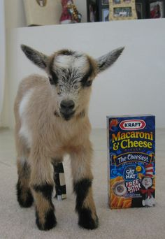 Pigmy Goat size comparison. So CUTE!