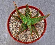 """Aloe """"Carnival"""""""