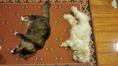 Maine Coone vs shitzhu My People, Maine, Cats, Animals, Gatos, Kitty Cats, Animaux, Animal, Cat