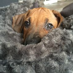 Ridgeback puppy. Look at that face!!!