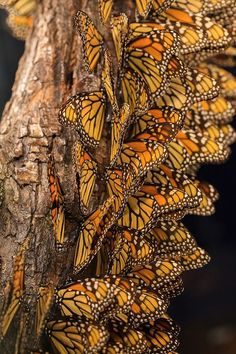 I've seen this at the Michoacan Butterfly Sanctuary, Mexico. The butterflies hang like living curtains from the trees.