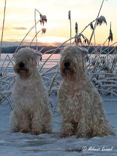 Wheatens love snow! Milvest kennels
