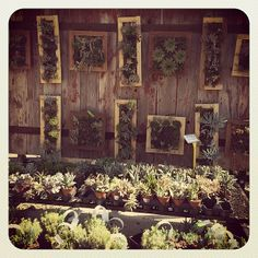 Our Succulent Wall is still rocking! Browse a unique selection of potted succulent bowls and hanging gardens or build your own from our wide variety of succulent, sedum and sempervivum plants at The Produce Station Garden Center!