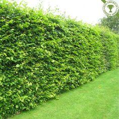 high verbinum hedges - Google Search